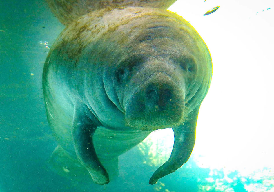 Manatee looks into one's soul-edit