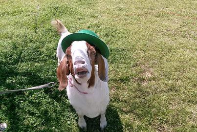 Frances the Goat